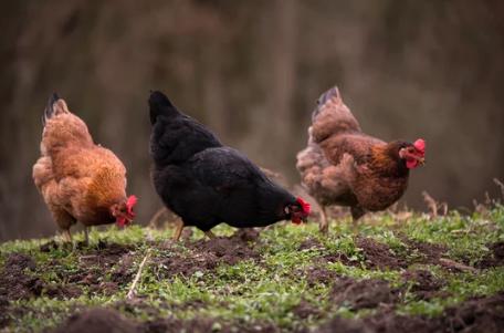 raising hens